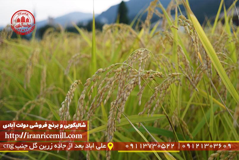 محبوب ترین برنج در ایران کدام است؟